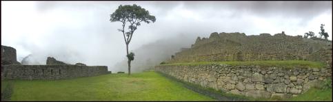 Arbre seul au Machu Picchu