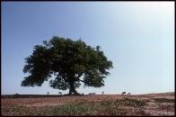 Accacia-Senegal.1981